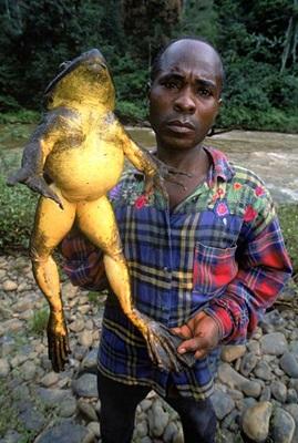 rana goliat gigante