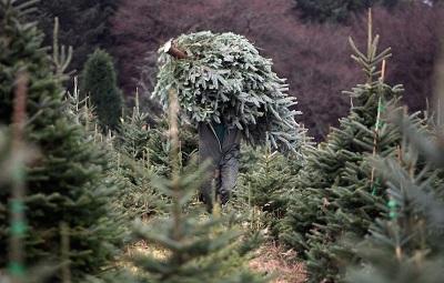 Christmas Tree Farmers Enjoy Bumper Harvest