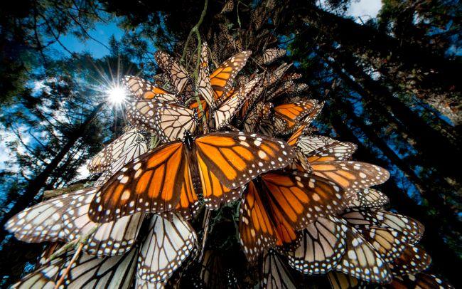 """Santuario de la Mariposa Monarca, """"El Rosario"""", MN"""